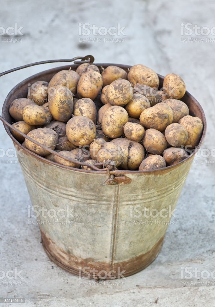 Potatoes in the basket after harvesting.Fresh uncooked potatoes stock photo