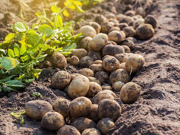 potatoes in the farm. stock photo