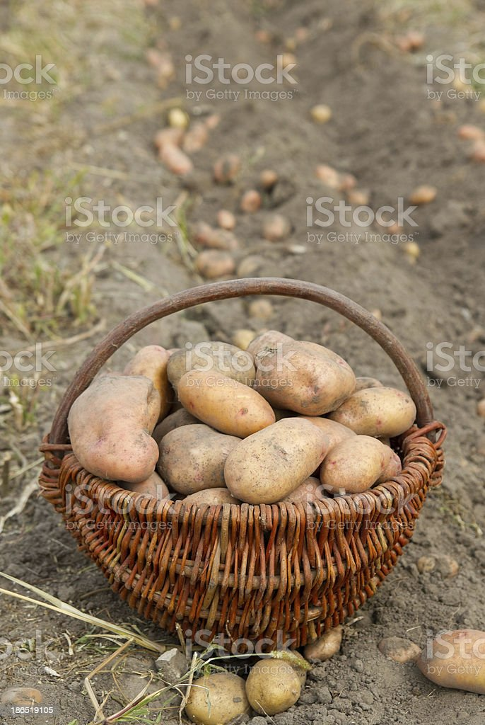 potatoes on a basket royalty-free stock photo