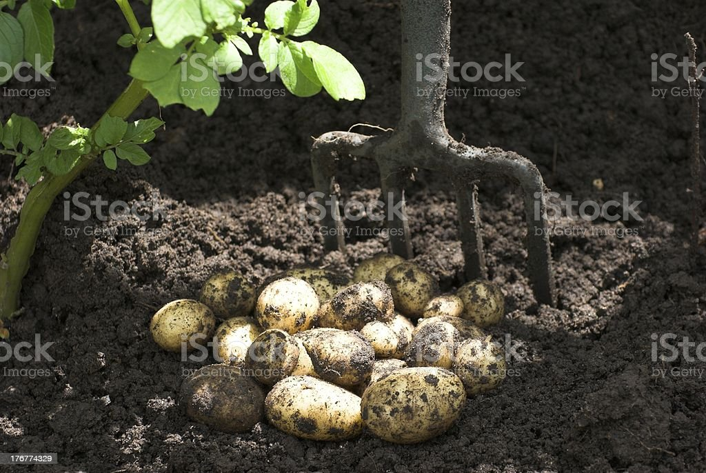 Potatoes royalty-free stock photo