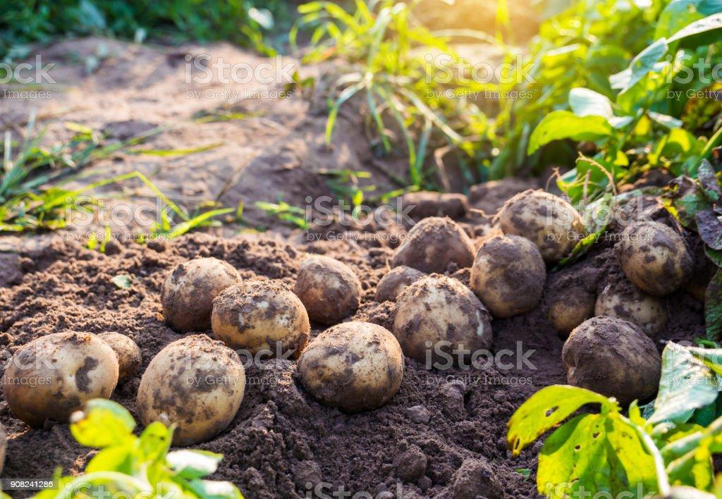 Batatas - foto de acervo