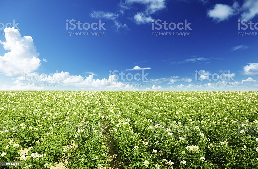 potatos field stock photo