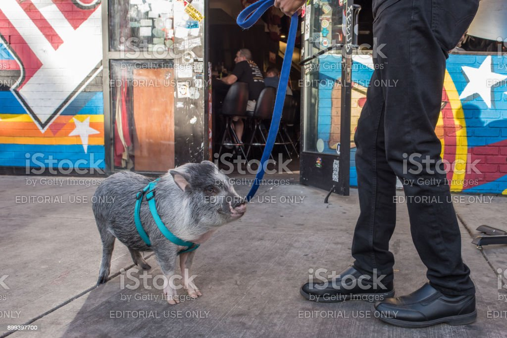 A Potbelly Pig On The Street Downtown Las Vegas Stock Photo More Pictures Of Abdomen