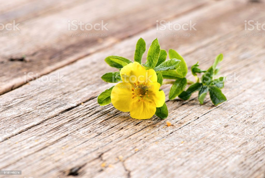 Potentilla fruticosa Goldfinger  flower close-up on natural wooden background stock photo