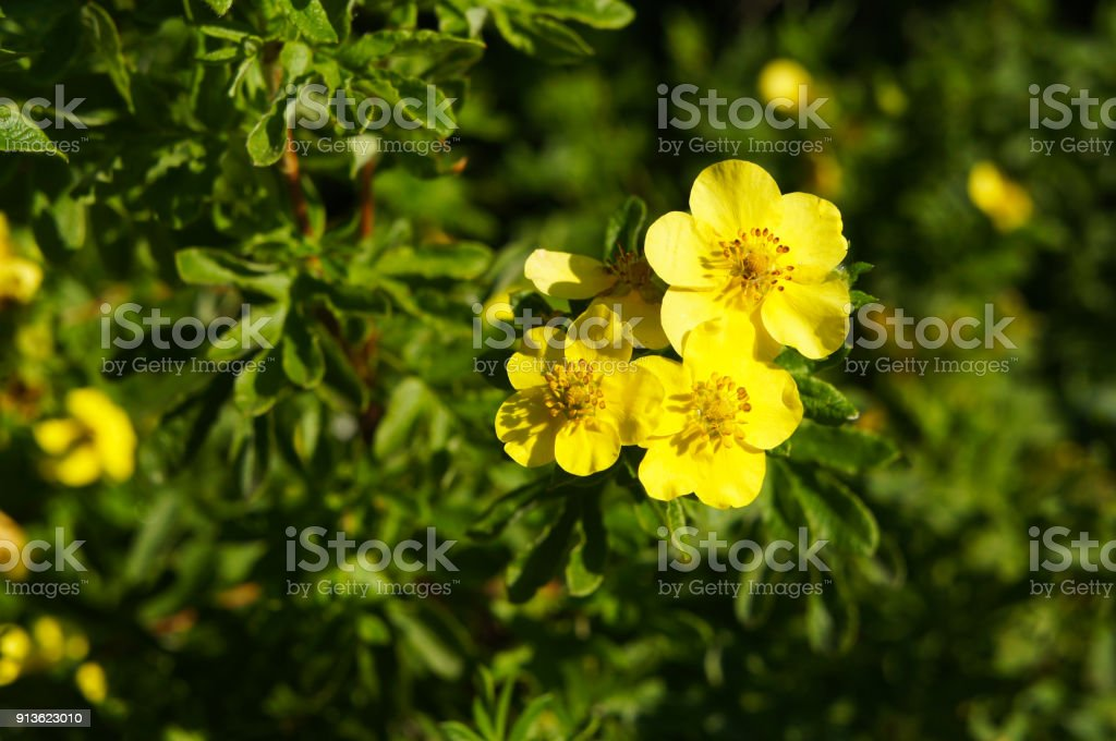 Potentilla fruticosa goldfinger yellow flower with green plant copyspace stock photo