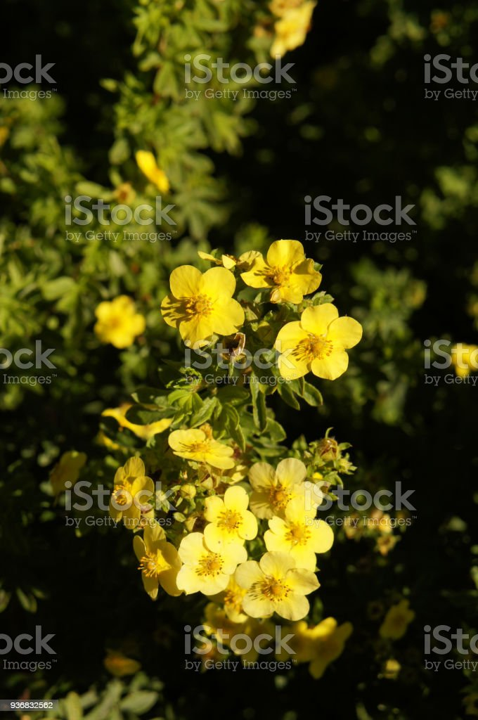 Potentilla fruticosa goldfinger yellow flowers with green stock potentilla fruticosa goldfinger yellow flowers with green royalty free stock photo mightylinksfo