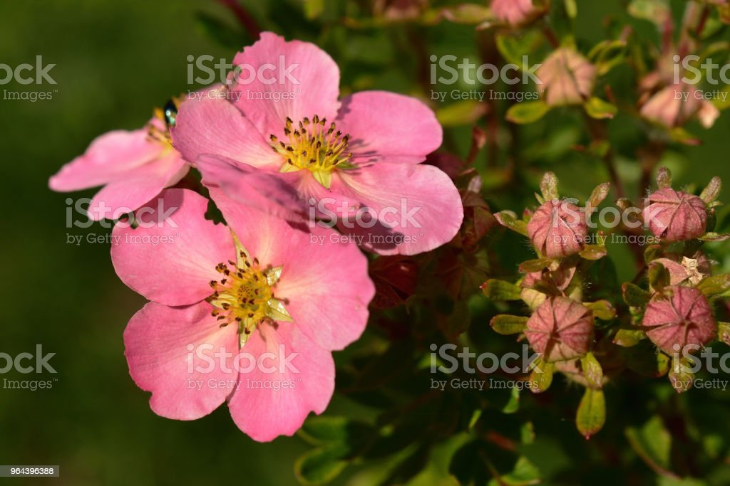 Potentilla flores rosa Close-Up - Foto de stock de Amarelo royalty-free