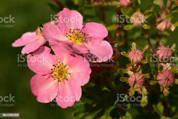 Foto de Potentilla Flores Rosa Closeup e mais fotos de stock de Amarelo