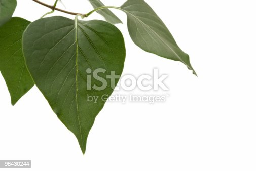 Pothos Leaves Isolated On White Background Stock Photo & More Pictures of Biology