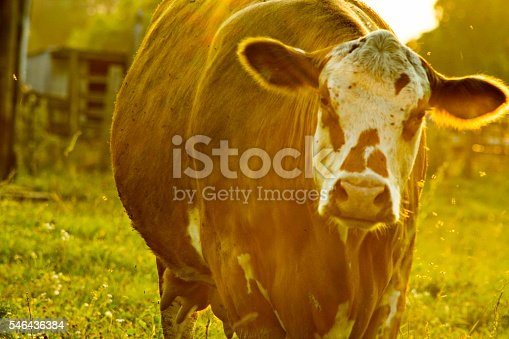 istock potrait of a cow in the american midwest 546436384