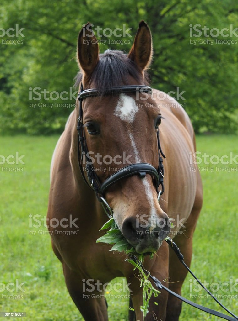 Potrait of beautiful horse with bridle in nature royalty-free stock photo