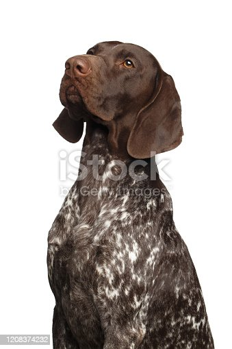 Potrait of German Shorthaired Pointer Dog or Kurzhaar on Isolated White Background