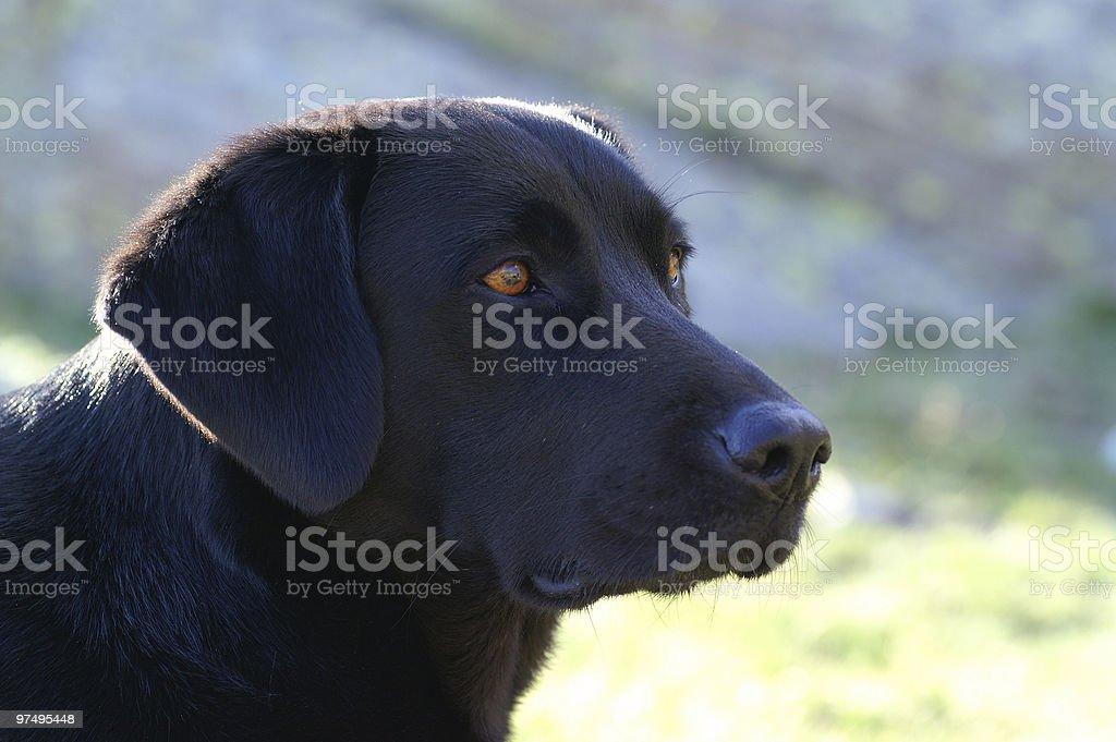 potrait of the black dog royalty-free stock photo