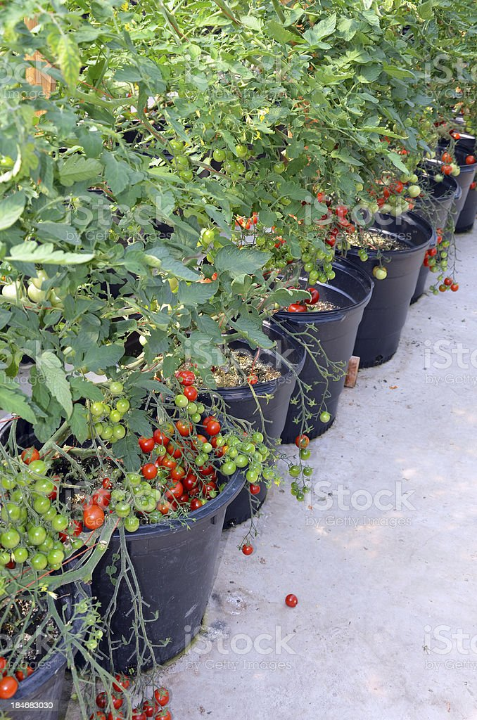 Pots of cherry tomato plants royalty-free stock photo