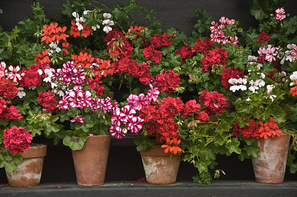 Pots of colourful geraniums stock photo