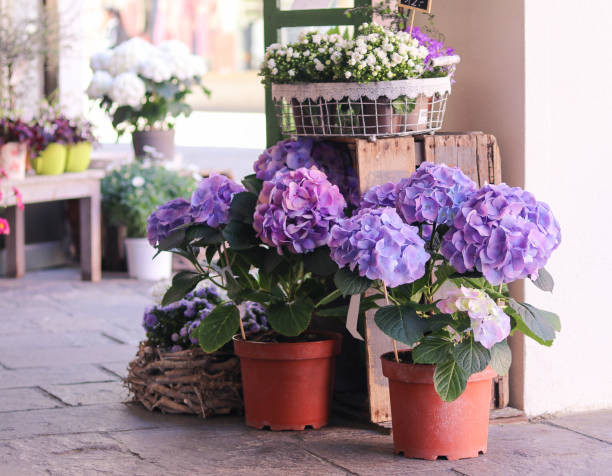 pots with beautiful blooming blue and white  hydrangea flowers for sale outside flower shop. garden store entrance decorated with rustic style wooden box and craft flower pots. - hortensja zdjęcia i obrazy z banku zdjęć
