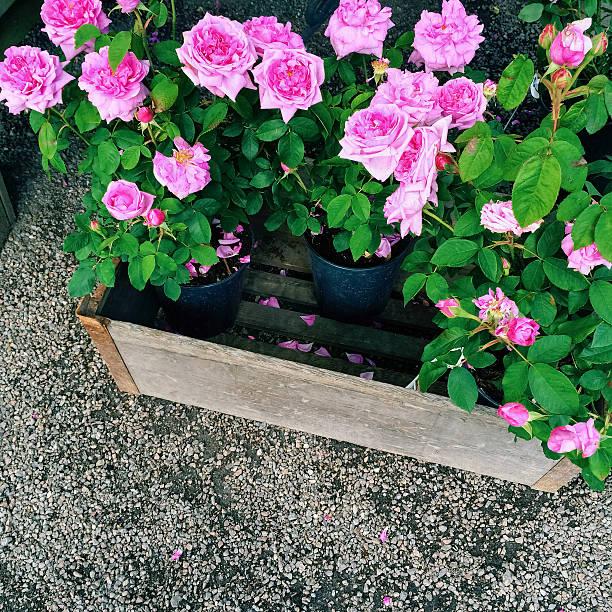 Pots with beautiful pink roses picture id590282866?b=1&k=6&m=590282866&s=612x612&w=0&h=cu9d p qdfb5fqv stmfzswuhdzwnzes9uh4elvhfm8=
