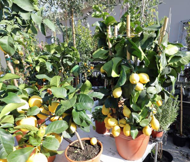 Töpfe mit Zitronenbaum zum Verkauf auf dem Markt – Foto
