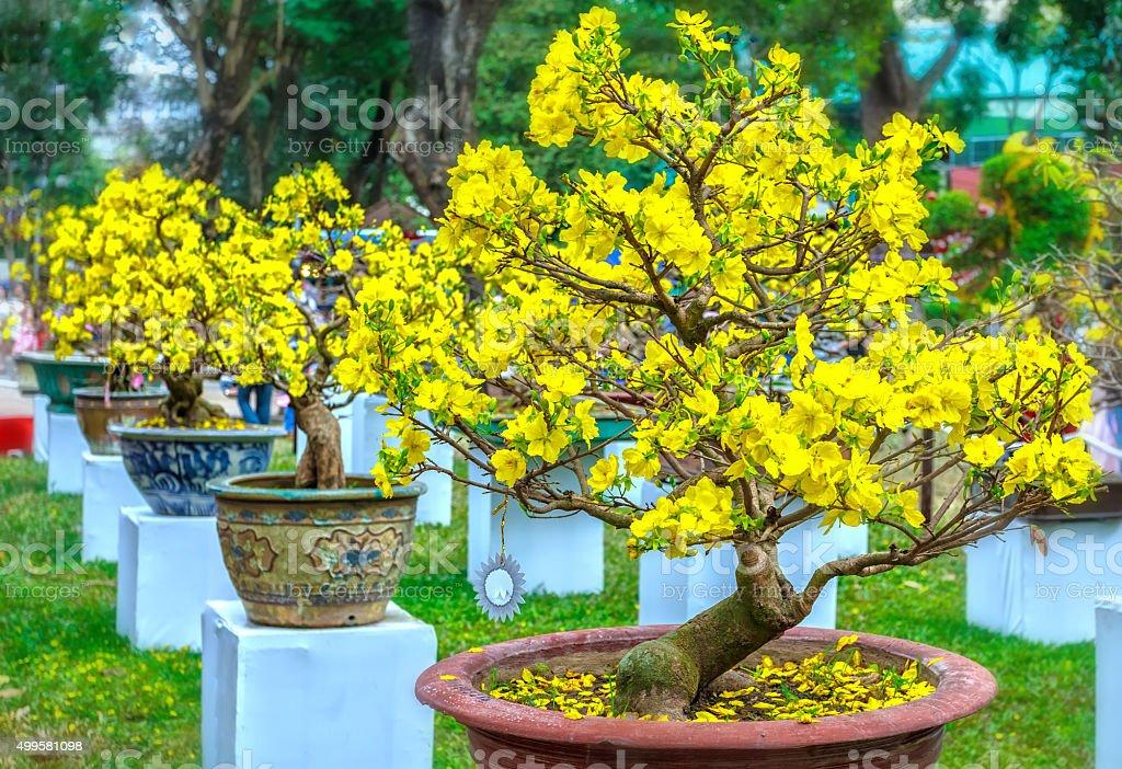 Pots yellow apricot flowering bonsai in spring Vietnam stock photo