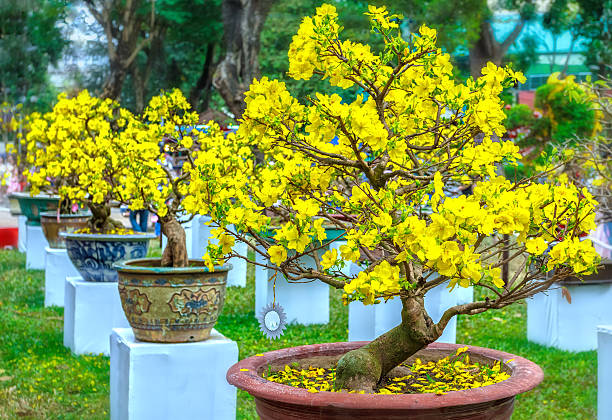 Pots yellow apricot flowering bonsai in spring Vietnam stock photo
