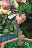 potted apple tree in greenhousepotted apple tree in greenhouse