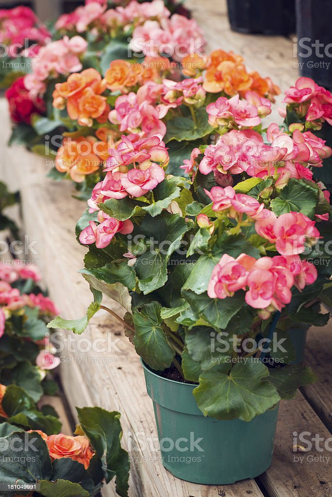 Potted Begonias For Sale at a Garden Center stock photo