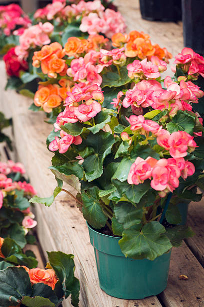 Potted Begonias For Sale at a Garden Center foto