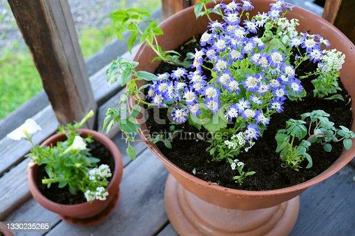 istock Potted blue Pericallis hybrida or cineraria, florist's cineraria or common ragwort flowering plant from the genus Senecio, summerhouse decoration 1330235265