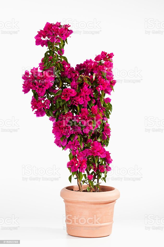 Potted bougainvillea glabra, paperflower against white background stock photo
