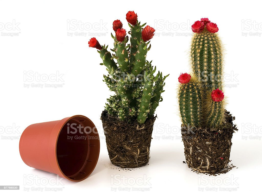 Potted cacti with flowers royalty-free stock photo