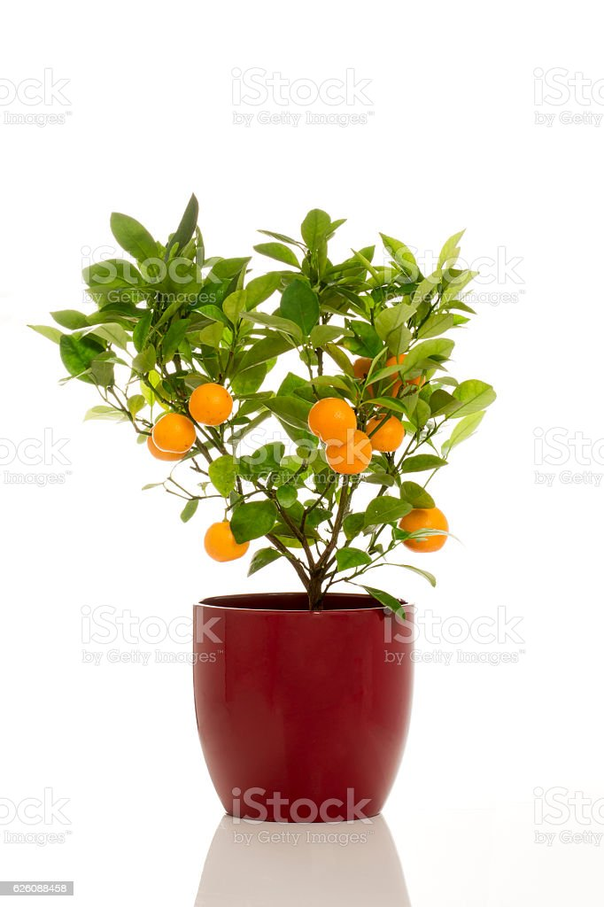 Potted Calamondin Plant stock photo