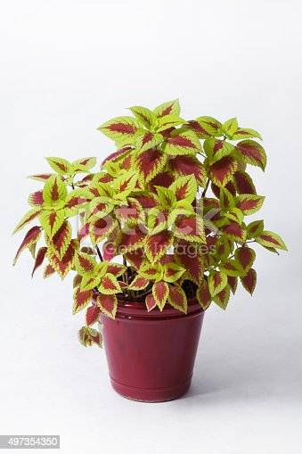 Chartreuse and red coleus in a flower pot