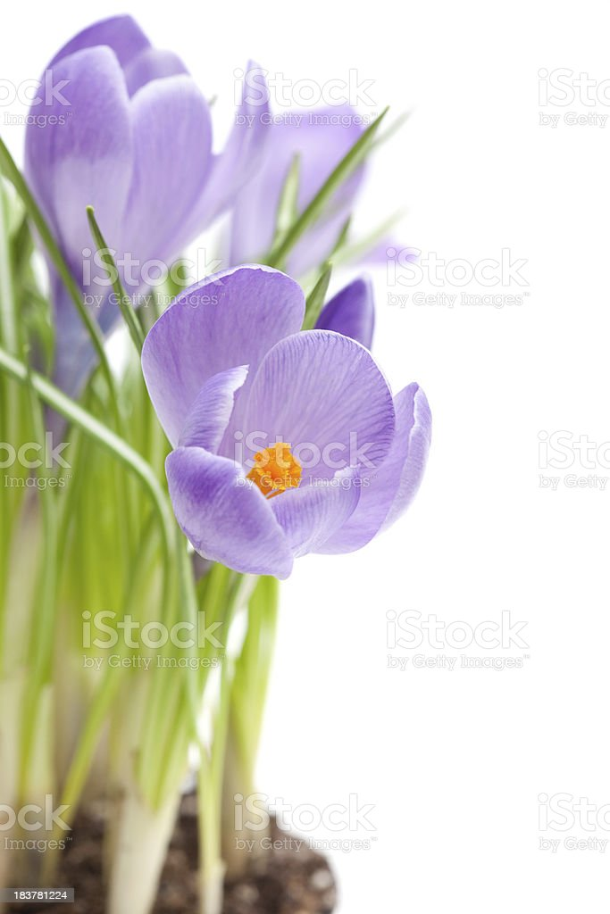 Potted Crocus royalty-free stock photo