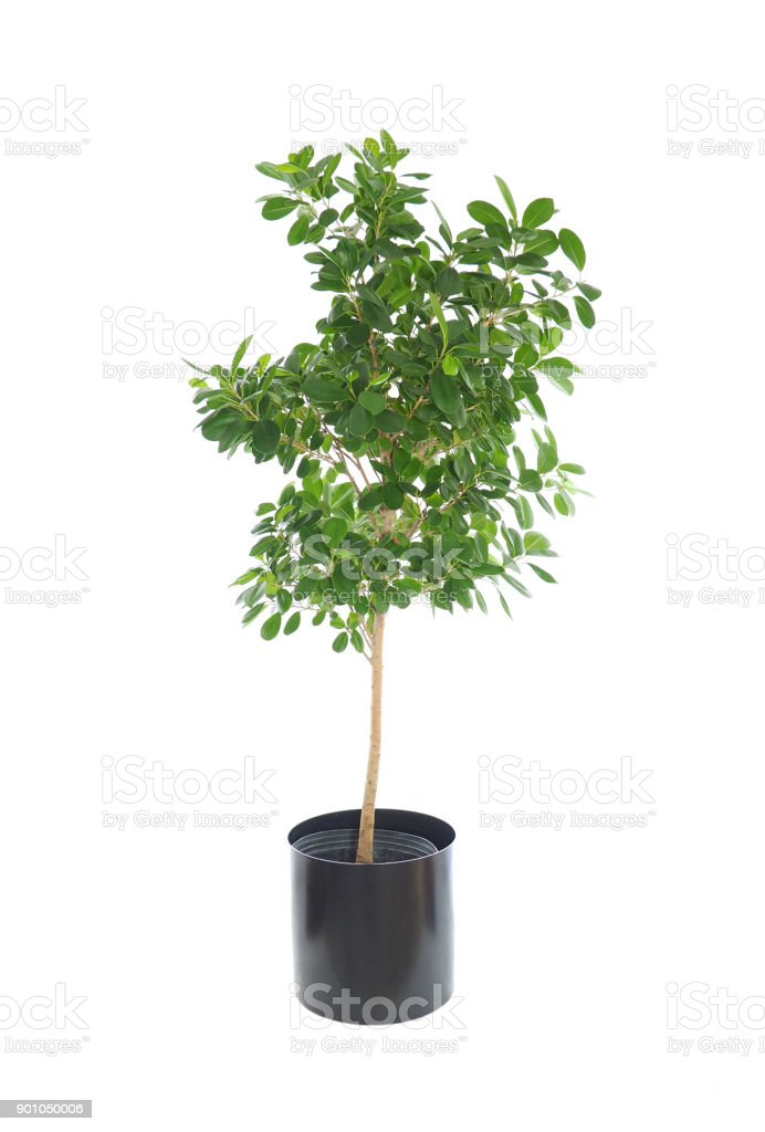 Potted Dwarf Nidita Ficus Isolated on White stock photo