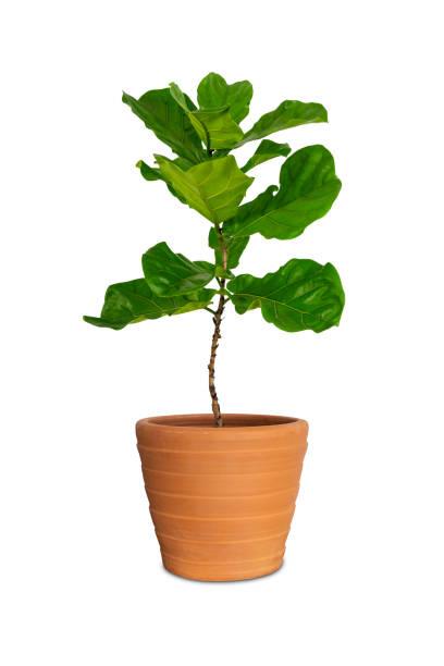 en pot ficus larata ou fiddle feuille de figuier en pot isolé sur blanc backgrongd. - figue photos et images de collection