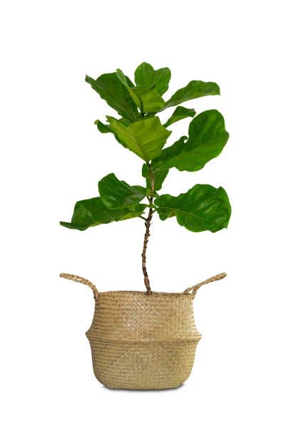 larata ficus en pot ou fiddle feuille de figuier isolée on white background. - figue photos et images de collection