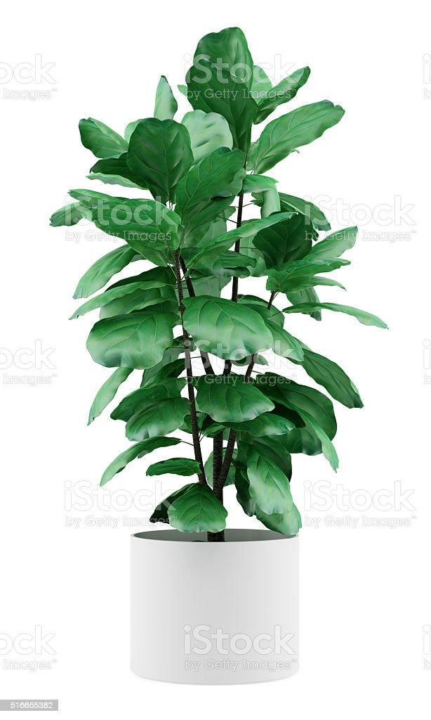 potted ficus plant isolated on white background stock photo