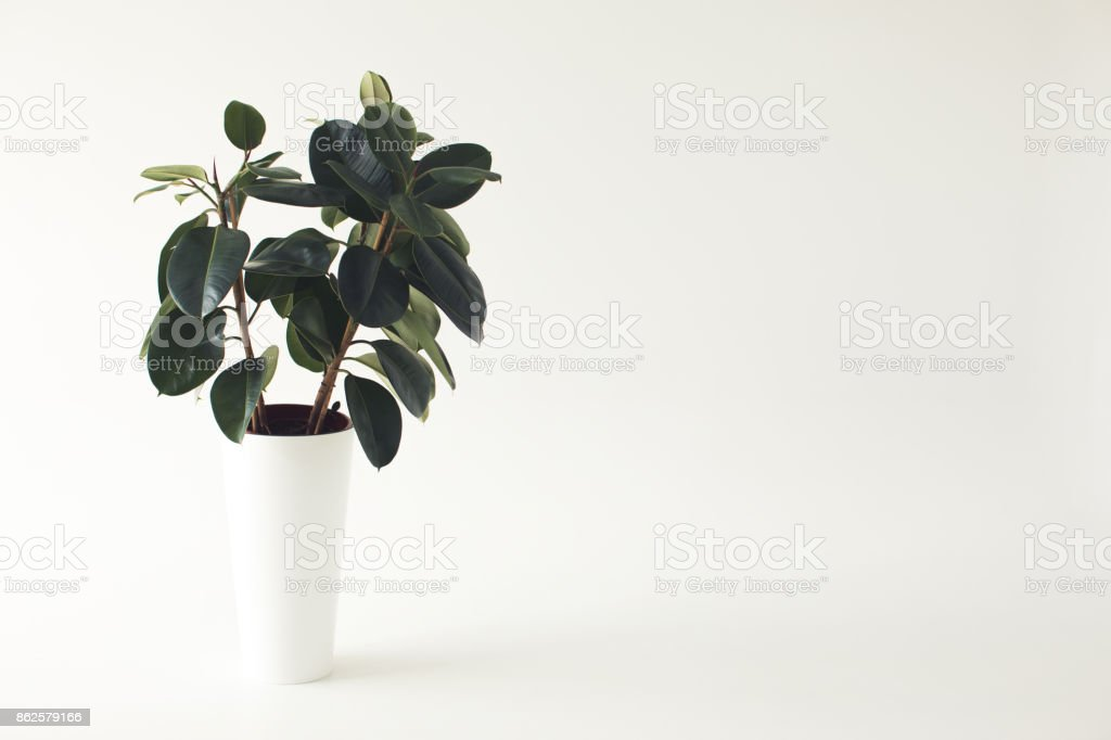 potted ficus plant stock photo