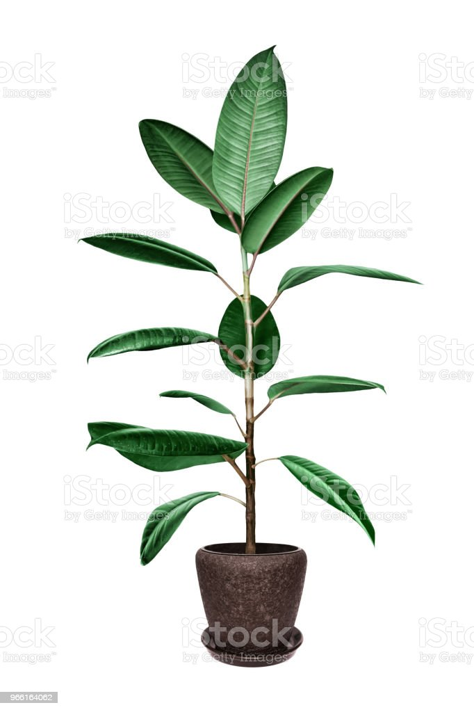 Potted ficus tree isolated on white - Royalty-free Ajardinado Foto de stock