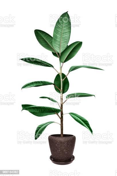 Krukväxt Ficus Träd Isolerad På Vit-foton och fler bilder på Blomkruka