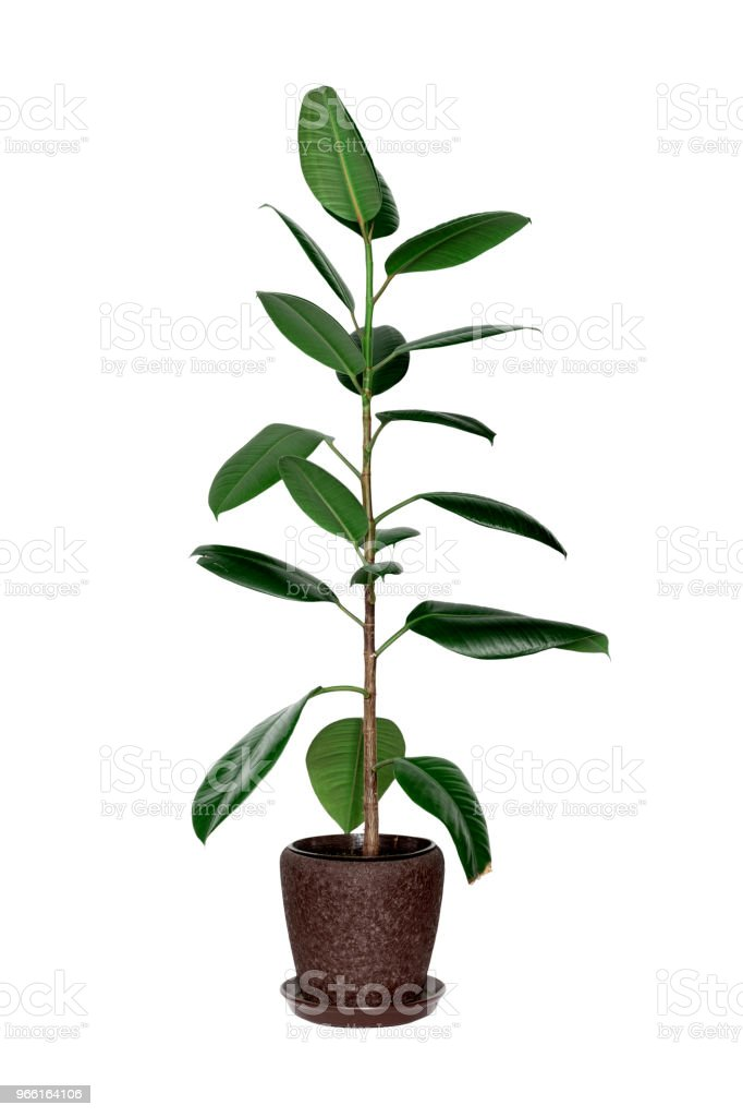 Potted ficus tree isolated on white - Royalty-free Botany Stock Photo