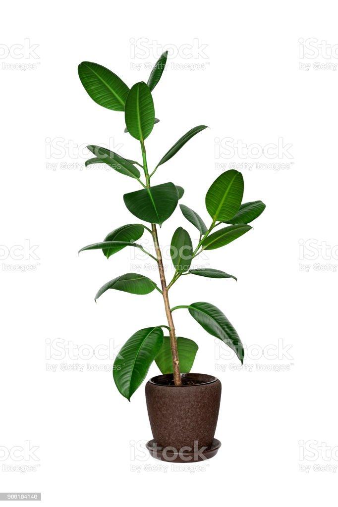 Krukväxt ficus träd isolerad på vit - Royaltyfri Blomkruka Bildbanksbilder
