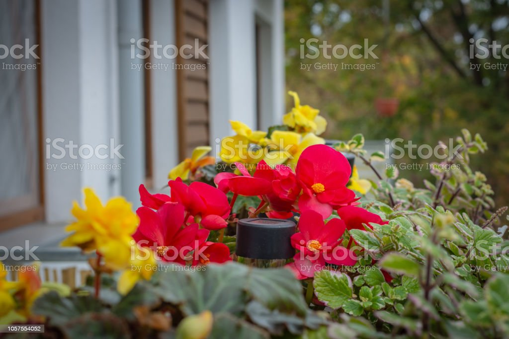 Potted flowers on the balcony, begonias and plectranthus glabratus – zdjęcie