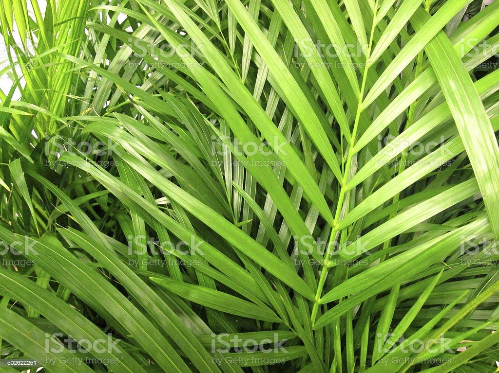 Potted green Areca palm leaves / fronds / Chrysalidocarpus lutescens houseplant image stock photo
