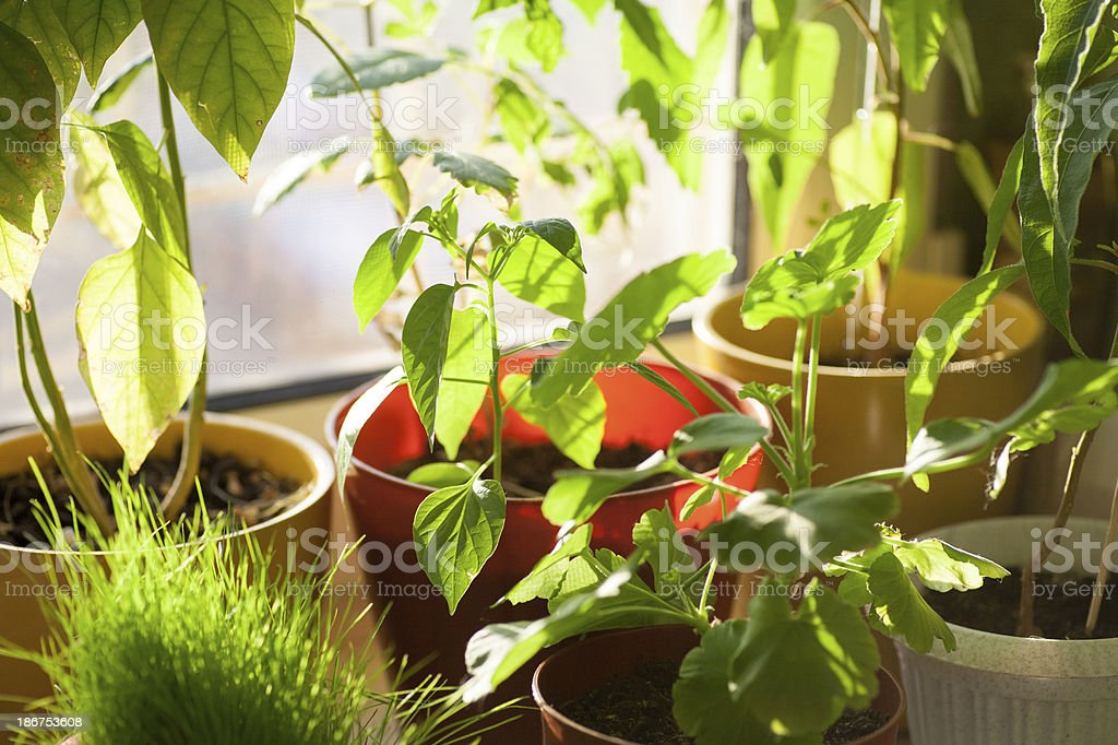 Potted green plants on window sill indoors stock photo