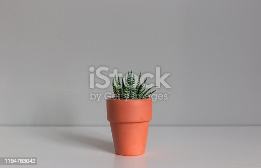 Wide Shot of a Potted Haworthia Succulent Plant Against a Grey Background