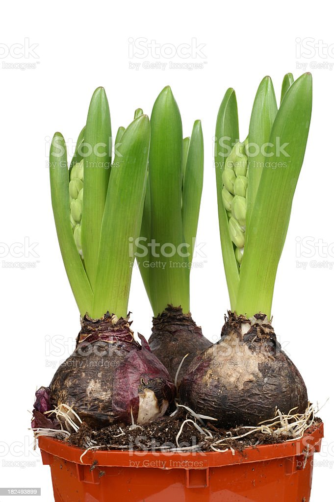 Potted Hyacinth Bulbs royalty-free stock photo