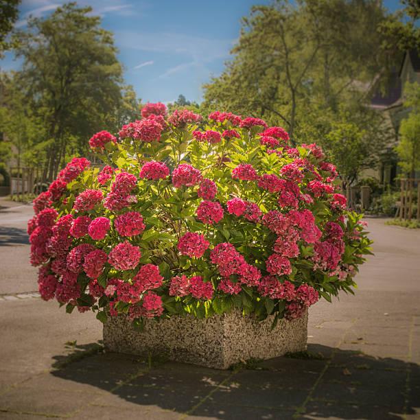 potted hortensie - blumentopf groß stock-fotos und bilder