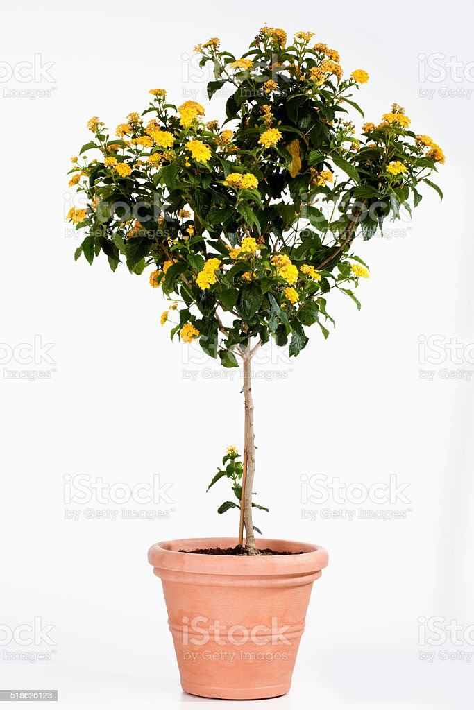 Potted lantana against white background stock photo