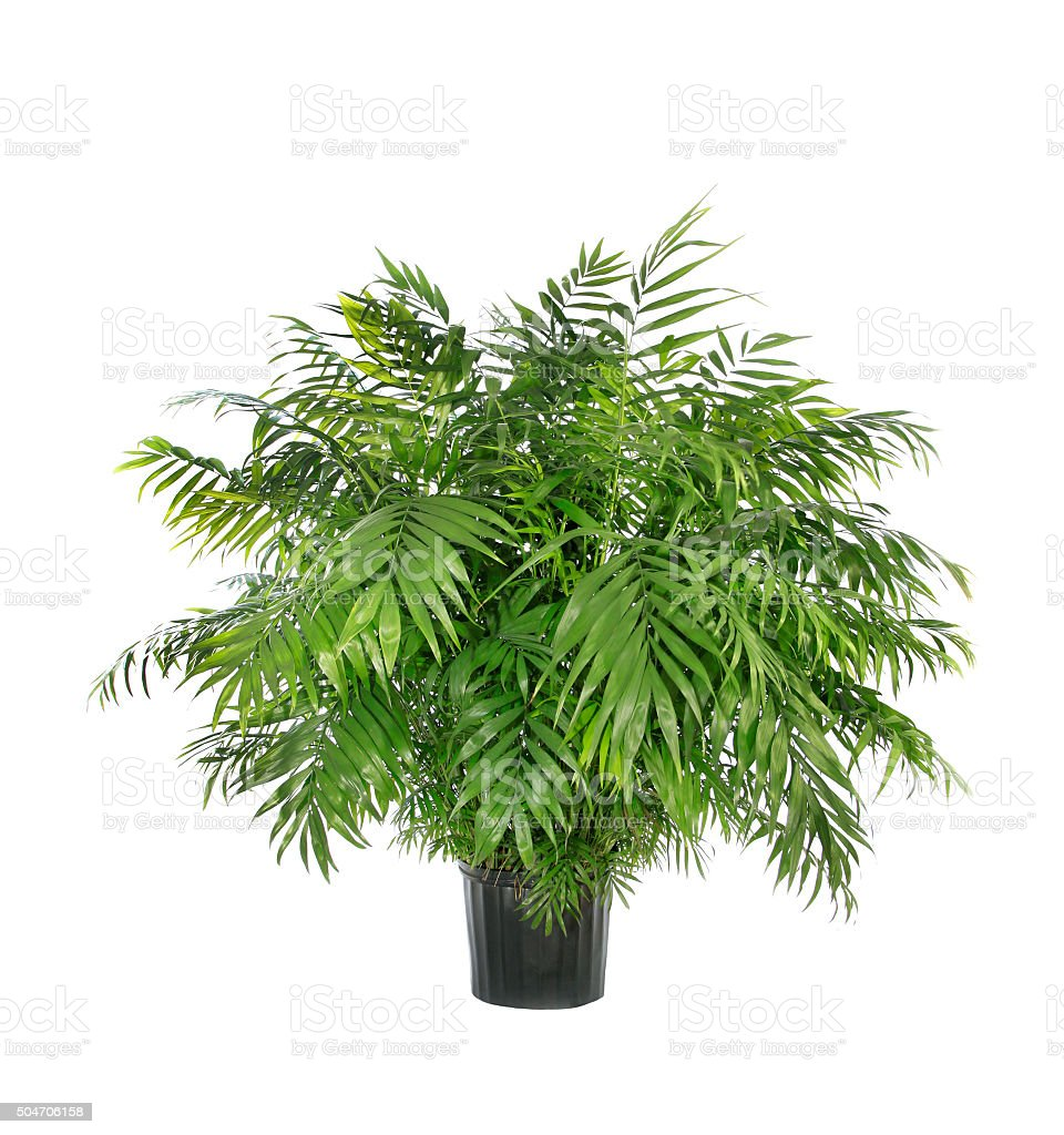 Potted Neamthabella Palm Isolated on White stock photo